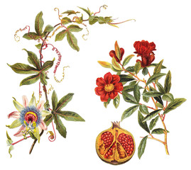 left: Blue Passion Flower (Passiflora caerulea) and right: Pomegranate (Punica granatum) / vintage illustration