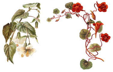 Abutilon (left) and Tropaeolum or Nasturtium (right) / vintage illustration