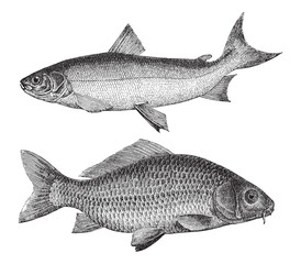 Maraene (Coregonus maraena) above and Common carp (Cyprinus carpio) under / vintage illustration