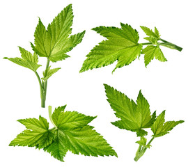 Currant leaf isolated