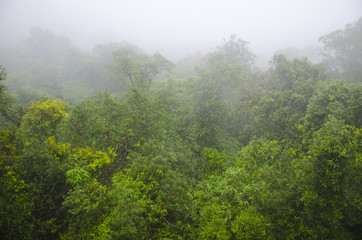 deep tropical forest, canopy tree and fog