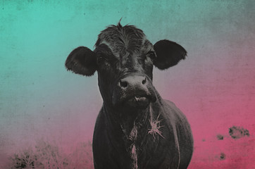 Wall Mural - Pop art style black Angus cow image, great for decor print or agriculture background.