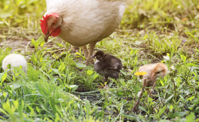 a hen with chickens walking on a green grass on the farm in the summer