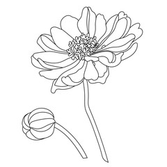 illustration of chamomile/daisy flower isolated on white background.  Vector.