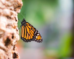 Macro of a Monarch butterfly