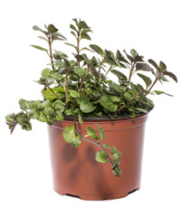 Bush of orange mint in a pot on a white background