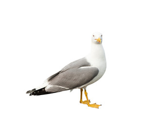 Seagull, isolated on white background