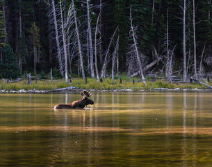 Shiras Moose in Lake - Colorado