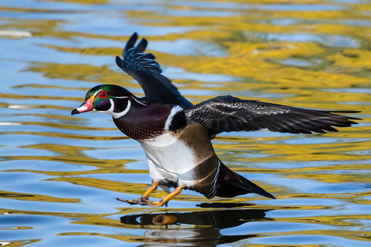 Wood Duck Landing in a Pond