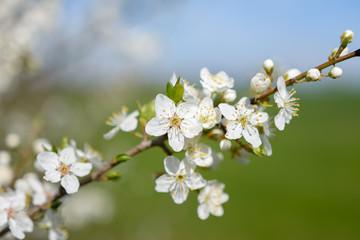 Frühlingsparadies mit weissen Kirschblüten vor blauem Himmel und grüner Wiese