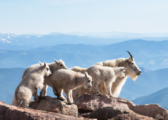 Mountain Goats of Colorado