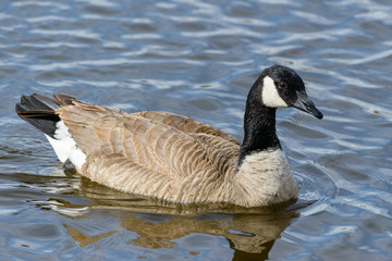 Canada Goose in a Lake