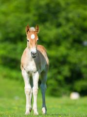 little foal in the meadow