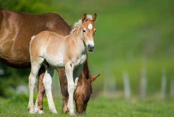 little foal in the meadow
