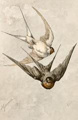Illustration zoologique / Hirundo rustica / Hirondelle rustique
