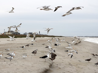 Seagulls Flying, Standing and Eating on the Beach