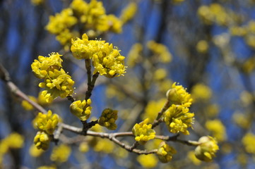 Blüten des Hartriegels, Cornus mas, im Frühling