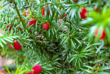 Yew tree with red berry in macro
