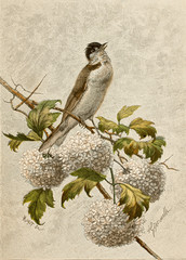 Illustration zoologique / Sylvia communis / Fauvette grisette