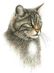 Illustration / Felis sylvestris/ Chat sauvage