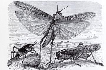 Migratory locust, insect