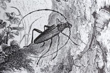 Longhorn beetle, Cerambyx cerdo