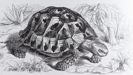 Greek tortoise, Testudo graeca