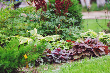 Mixed perennials combination in summer garden with heucheras and hostas
