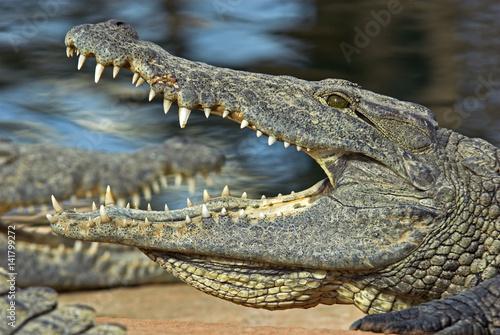 134db9524ca2 Crocodylus niloticus   Crocodile du Nil