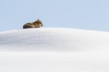 Gran Paradiso National Park, Piedmont, Italy. Red fox.