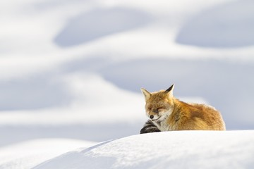 Gran Paradiso National Park, Piedmont, Italy. Red fox.