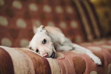 Mongrel dog gnawing a sofa
