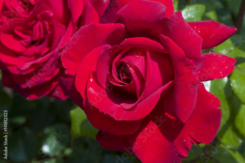 Rosa X Rose Marlena Stock Photo And Royalty Free Images On