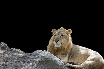 Young Lion making sarcastic face Isolated on Black