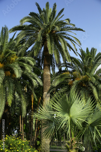 phoenix canariensis dattier des canaries palmier des canaries stock photo and royalty free. Black Bedroom Furniture Sets. Home Design Ideas