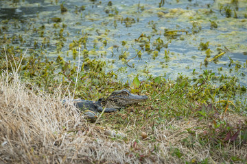 Young American Alligator in Florida hidden partially behind grasses