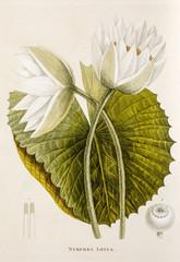 Illustration botanique / Nymphaea lotus / Lotus blanc d'Egypte