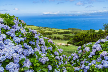 Typical azorean landscape with green hills, cows and hydrangeas, Pico Island, Azores, Portugal