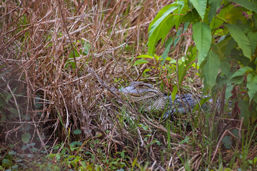 Young American Alligator (Alligator mississippiensis) hiding behind grasses