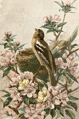 Illustration zoologique / Fringilla coelebs / Pinson des arbres