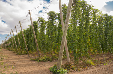 hop vines growing on trellises