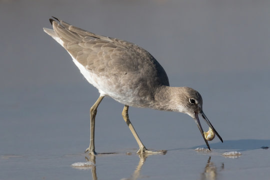 Willet Eating a mole crab