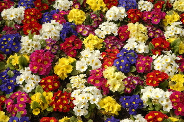 Colorful background from flower pansy.