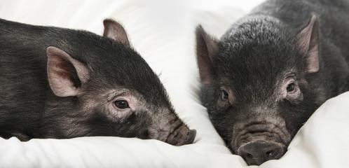 a cute little black pigs on a pillow