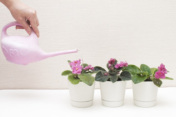 Saintpaulia (African violets). Transplanting plants , watering , white background