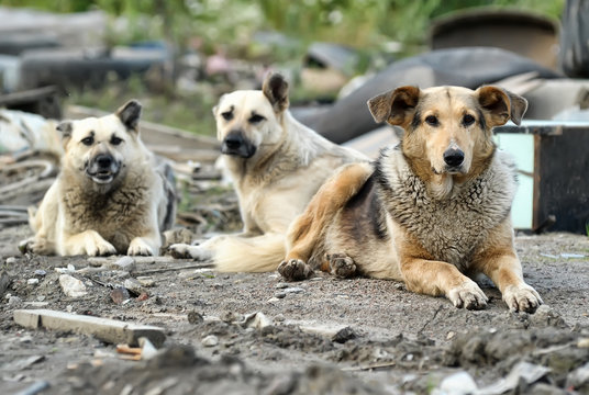 a pack of stray dogs