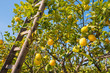 Lemon tree and wooden ladders during harvest season