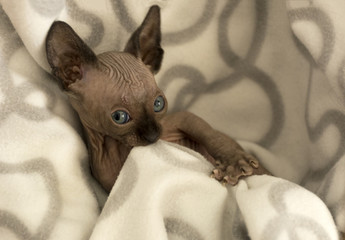 kitten, bald cat, hairless Canadian Sphynx, brown, grey, Siamese color plaid bites