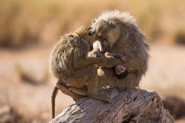 Family of baboons on log at Amboseli National Park