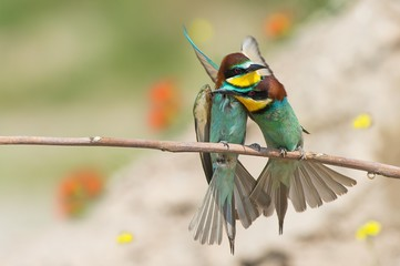 Canneto sull'Oglio, Mantova,Lombardy, Italy.Copy of bee-eaters on a branch.